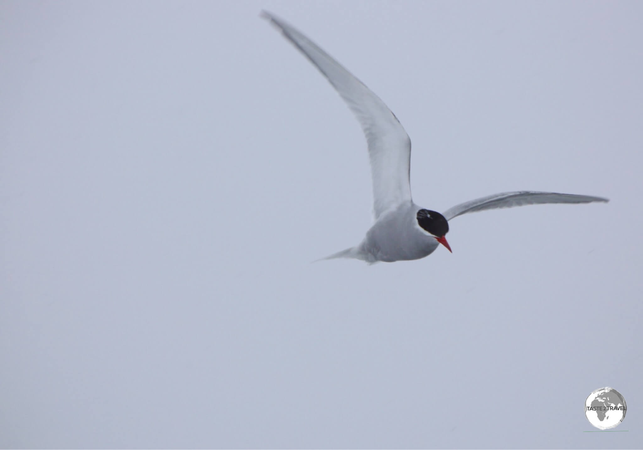 An Antarctic Tern flying over the Yalour Islands.