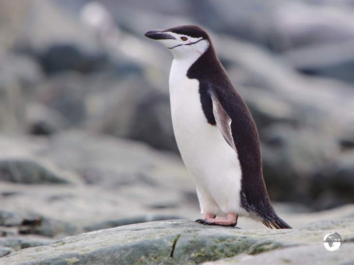 Chinstrap penguins, such as this one at Trinity Island, are closely related to the Gentoo and Adélie penguins.