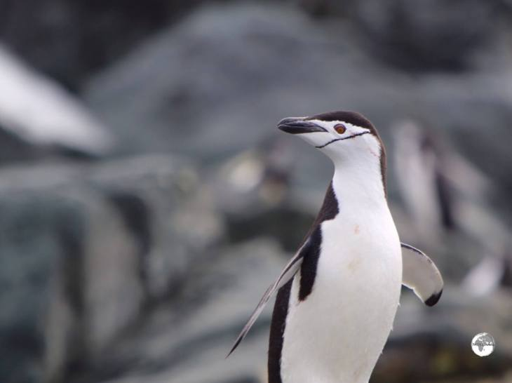 Chinstrap penguins get their name fromthe fine black line which runs, from cheek-to-cheek, across their white face.