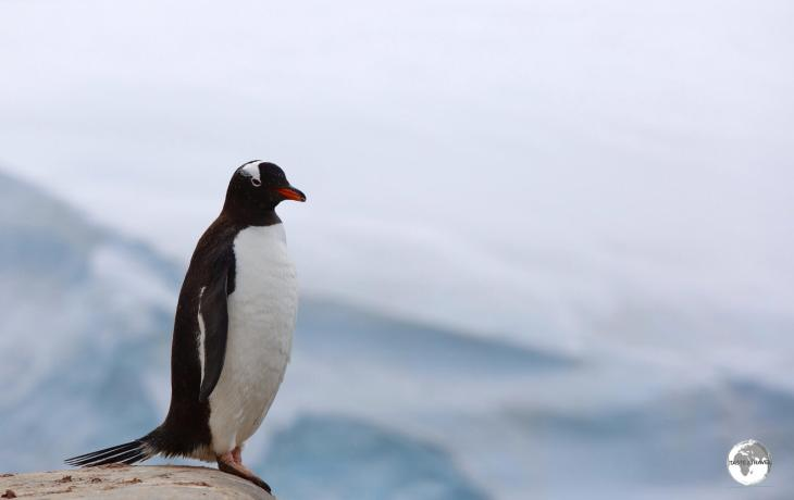 A Gentoo penguin at Port Lockroy. Gentoo's are easily identified by their orange-red coloured becks.