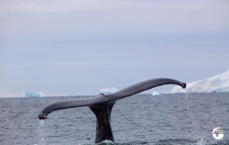 A diving Humpback whale in Wilhelmina Bay.