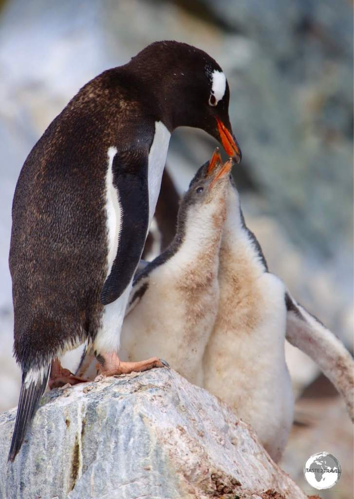 A Gentoo penguin feeding its chick's on Danco Island, Antarctica.