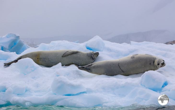 Two lazy Crabeater seals relaxing on an ice floe at Damoy Point.