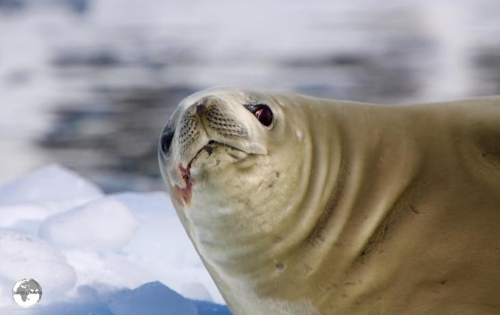 Misnamed by early Antarctic whalers and sealers, the Crabeater seal doesn't eat Crabs but rather Krill, which always leaves a blood stain around their mouths.