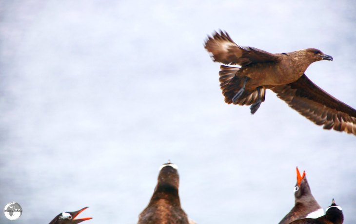 Gentoo penguins on Cuverville island defend their nests against an attack by a Brown Skua.