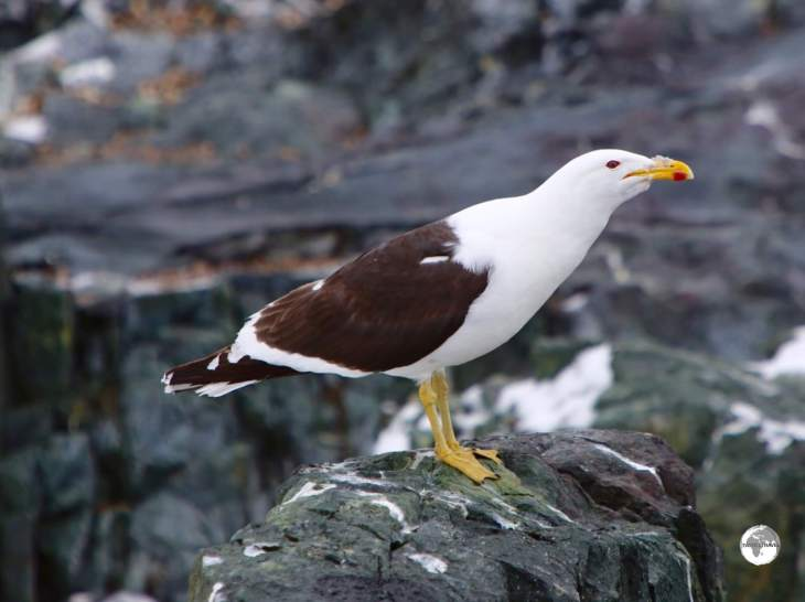 A Kelp Gull on Detaille Island, Antarctica.