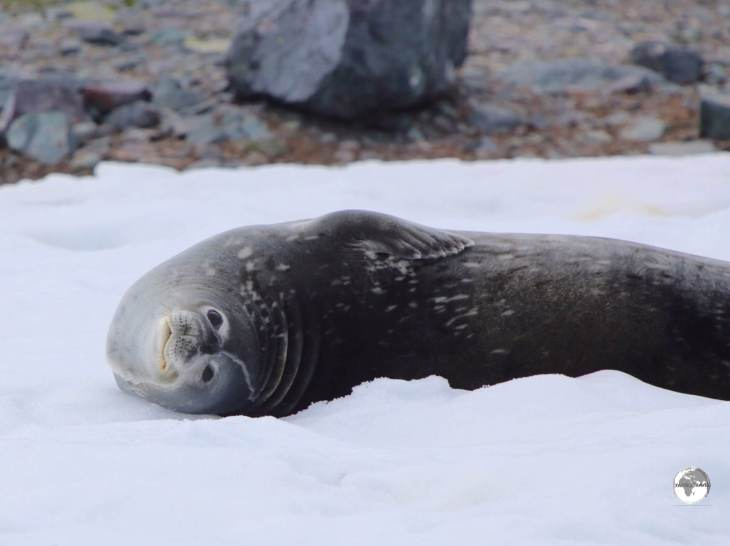 A Weddell seal relaxing on D'Hainaut Island.