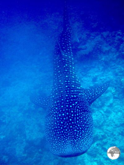 Snorkelling with a majestic Whale Shark is an unforgettable experience.