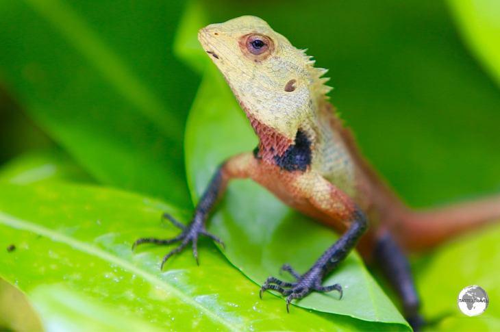 Oriental Garden Lizard on Vilamendhoo Island.