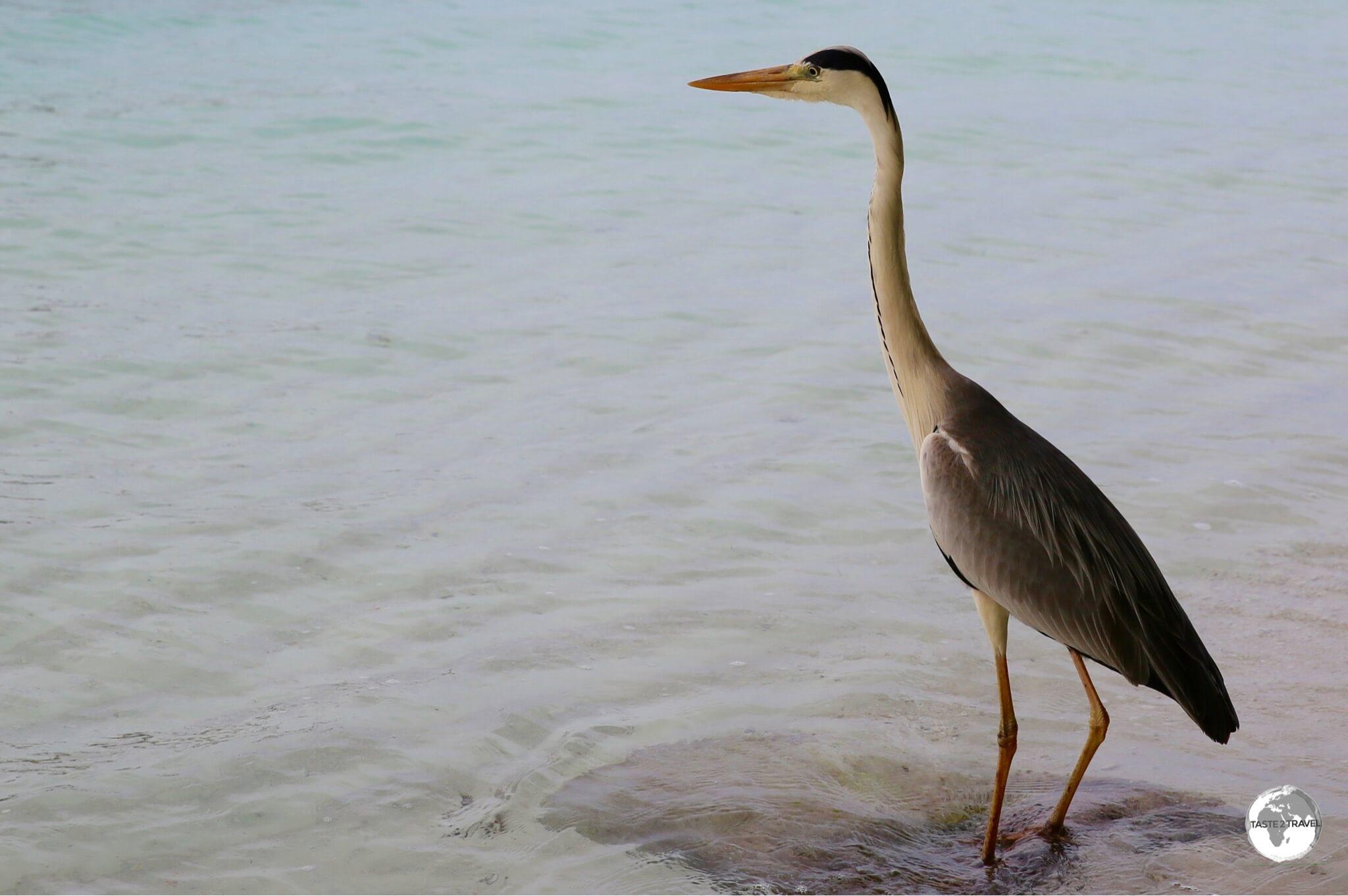 Grey Heron on Vilamendhoo Island.