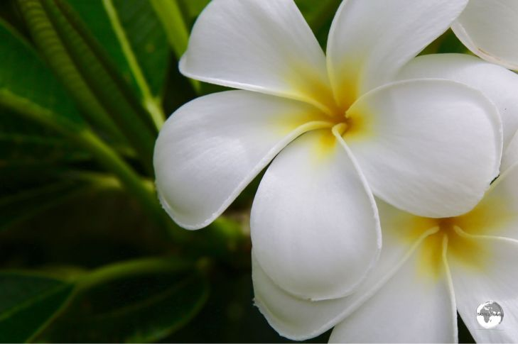 Frangipani's are everywhere in this tropical paradise.