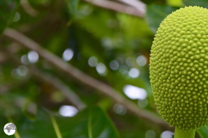 The rich volcanic soil on Tongatapu is ideal for growing different fruits and vegetables - including breadfruit.