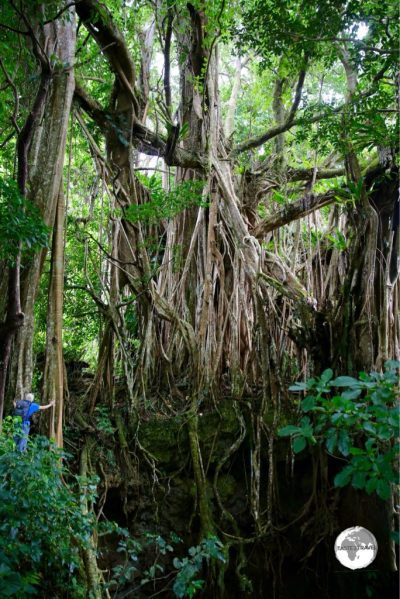 A hiker provides scale for the huge Ovava (Giant Strangling Fig) tree on 'Eua Island.