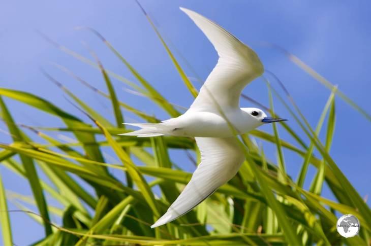 A white Tern battling the sea breeze on Funafuti.