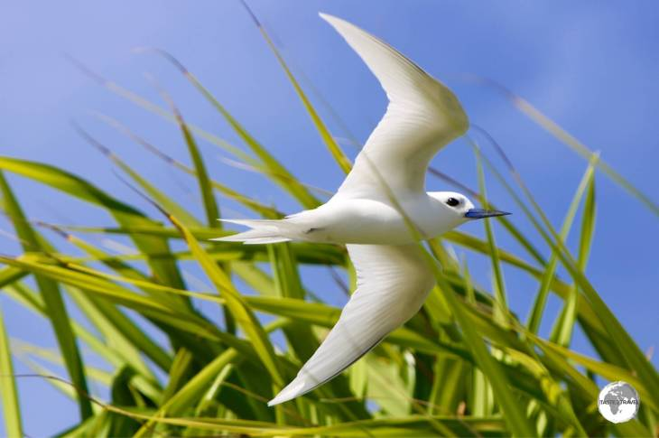 A white Tern battling the sea breeze on Funafuti.