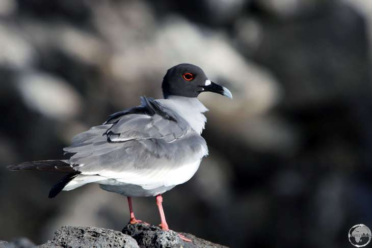 A Swallow-tailed gull on South Plaza island.