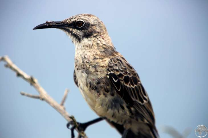 An Española Mockingbird at Punta Suarez, Española Island.