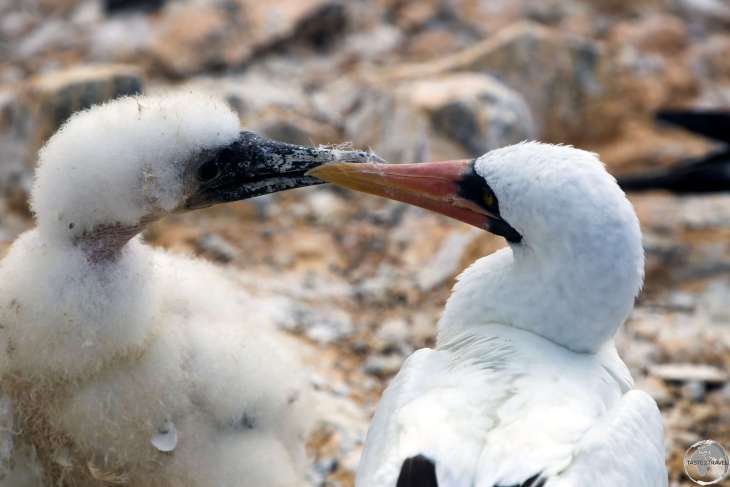 A Nazca Booby mother preening her chick at Punta Suarez, Española Island.