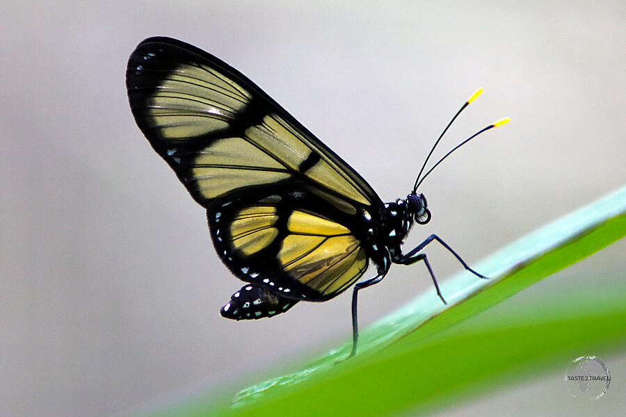 One of the beautiful stars of the Pilpintuwasi Butterfly Farm.