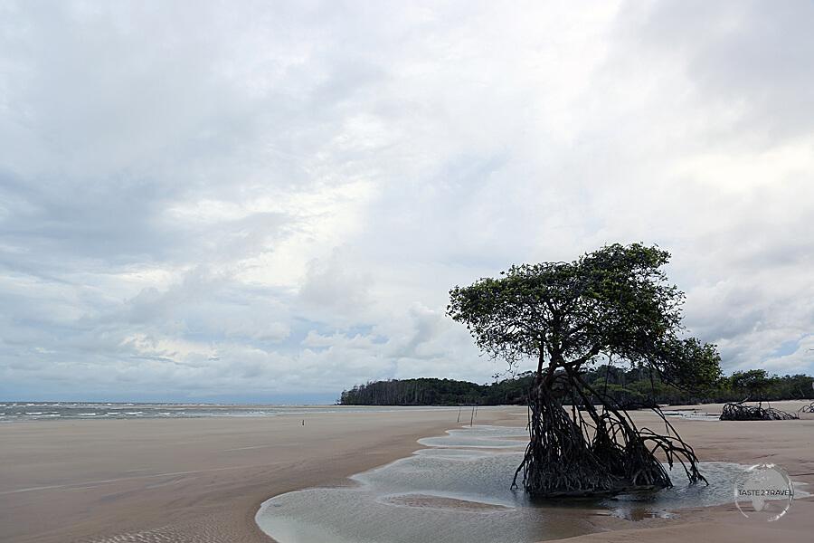 Marajó Island features miles of deserted, wild, sandy beaches, including Praia doPesqueiro.