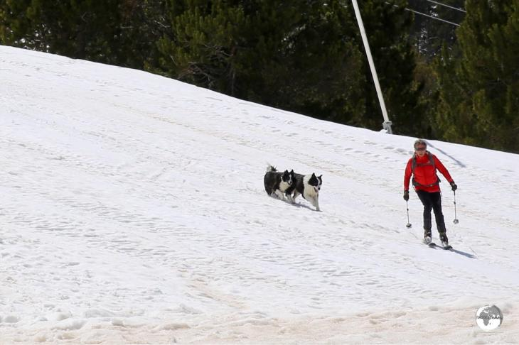 A novel way of walking the dogs at the Pal ski resort.