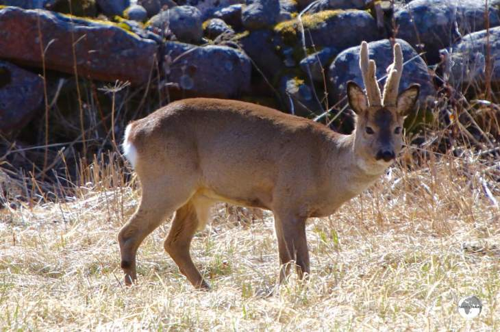 There are an estimated 15,000 Roe deer on the Åland Islands.