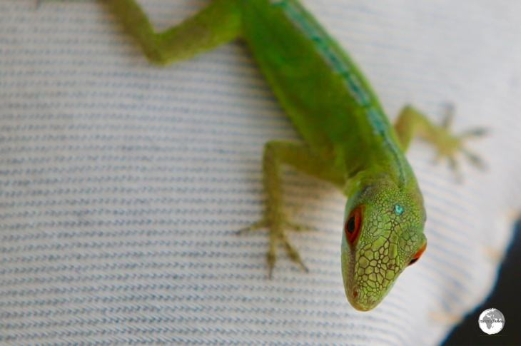 A friendly Green Anole lizard at Gingerbread Hill.