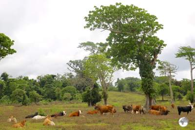 Happy, free-range cows on Éfaté .