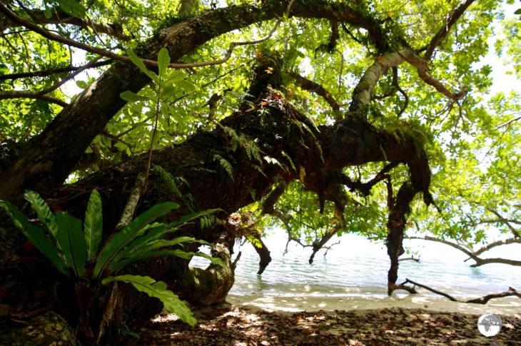 Giant Tamanu trees provide ample shade on the beach at Malo Island.