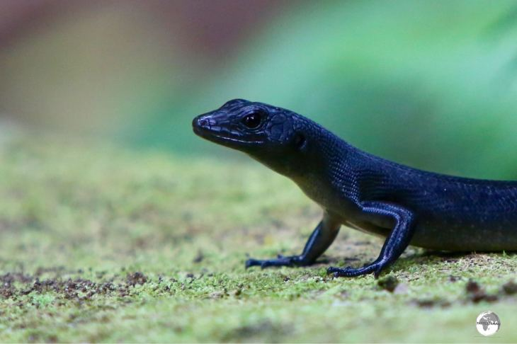 While climbing Mount Vaea I saw many Samoan black Skinks along the trail.