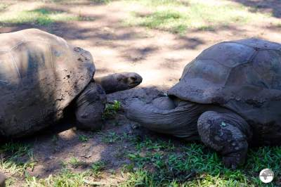 Originally from the Seychelles, giant Aldabra tortoises can be seen at the Seven Coloured Earth attraction.
