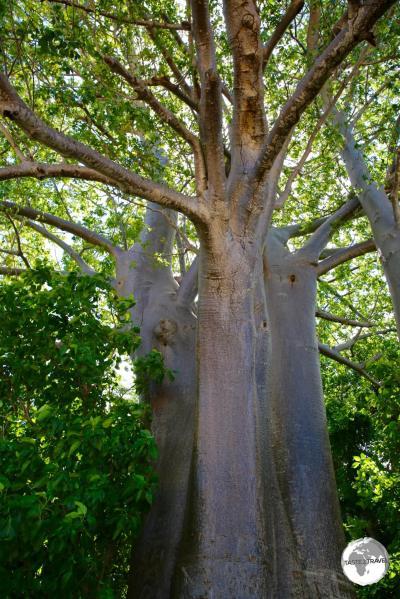 A Baobab tree on Sakouli beach.