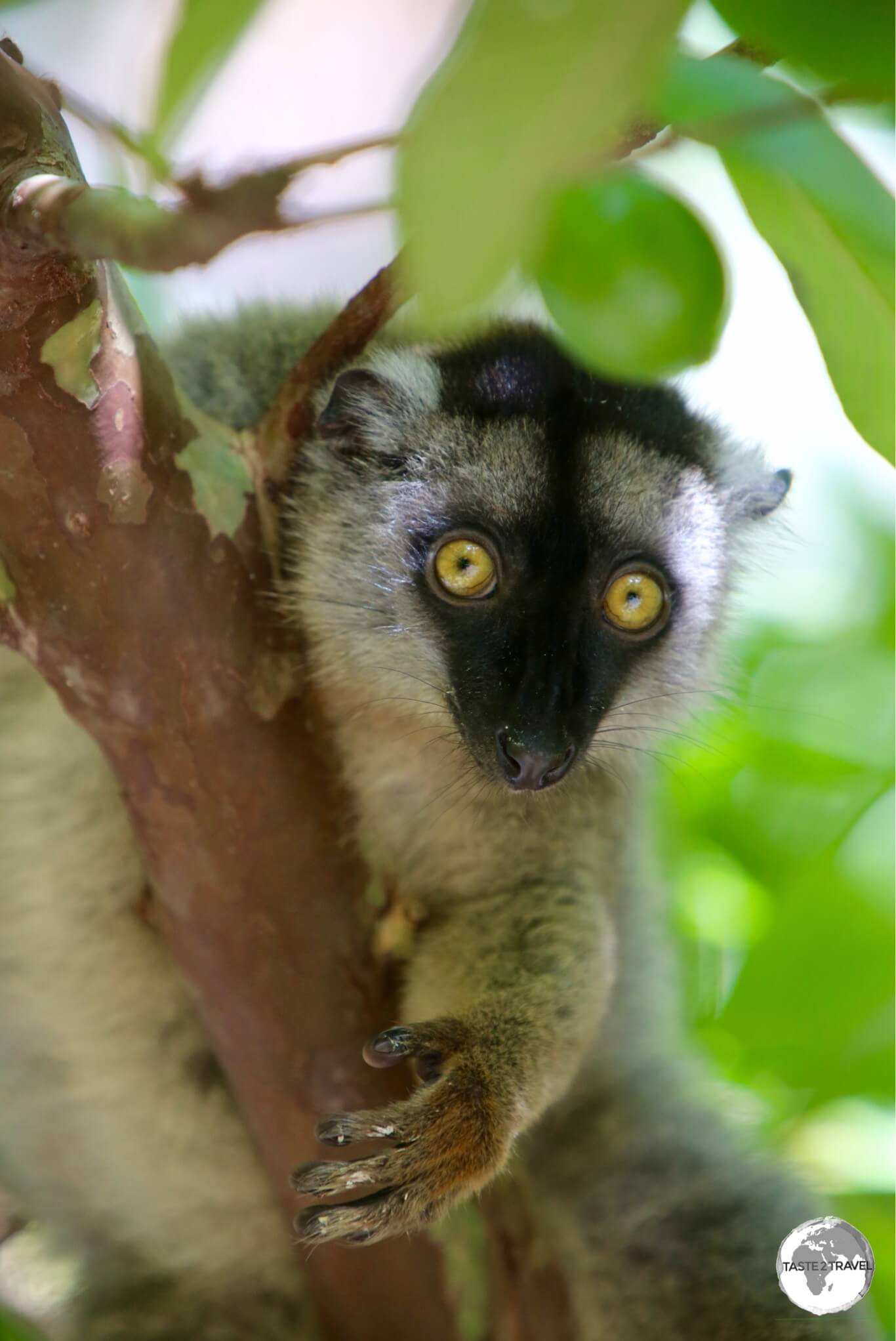 Lemurs are very inquisitive creatures which allows for excellent photography as they pose for the camera.