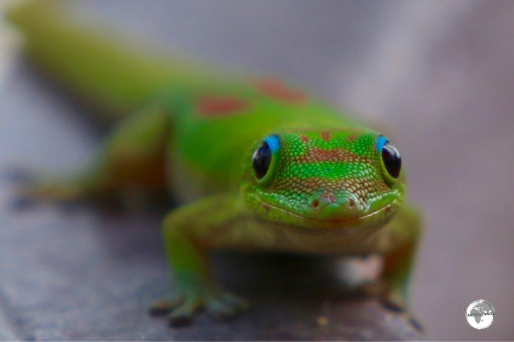 The Day gecko, endemic to Madagascar, was introduced to Reunion Island.