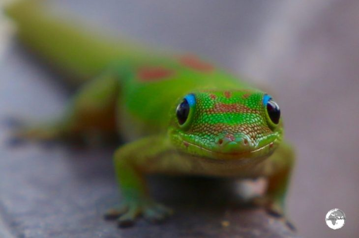 The Day gecko was introduced to Reunion Island from Madagascar.