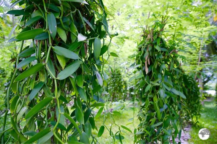 The Vanilla plantation at L'Union Estate.