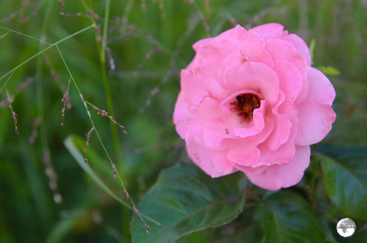 Taif's famous rose is an oil-rich 30-petal damask rose whose perfume of Arabia is powerful and robust.