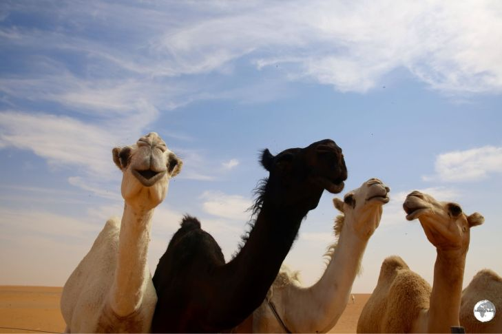 Just a few of the estimated 800,000 camels which can be seen roaming through the Saudi desert.