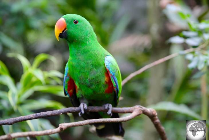 A very green, male Eclectus parrot. The female is completely different, with a plumage of scarlet red feathers.