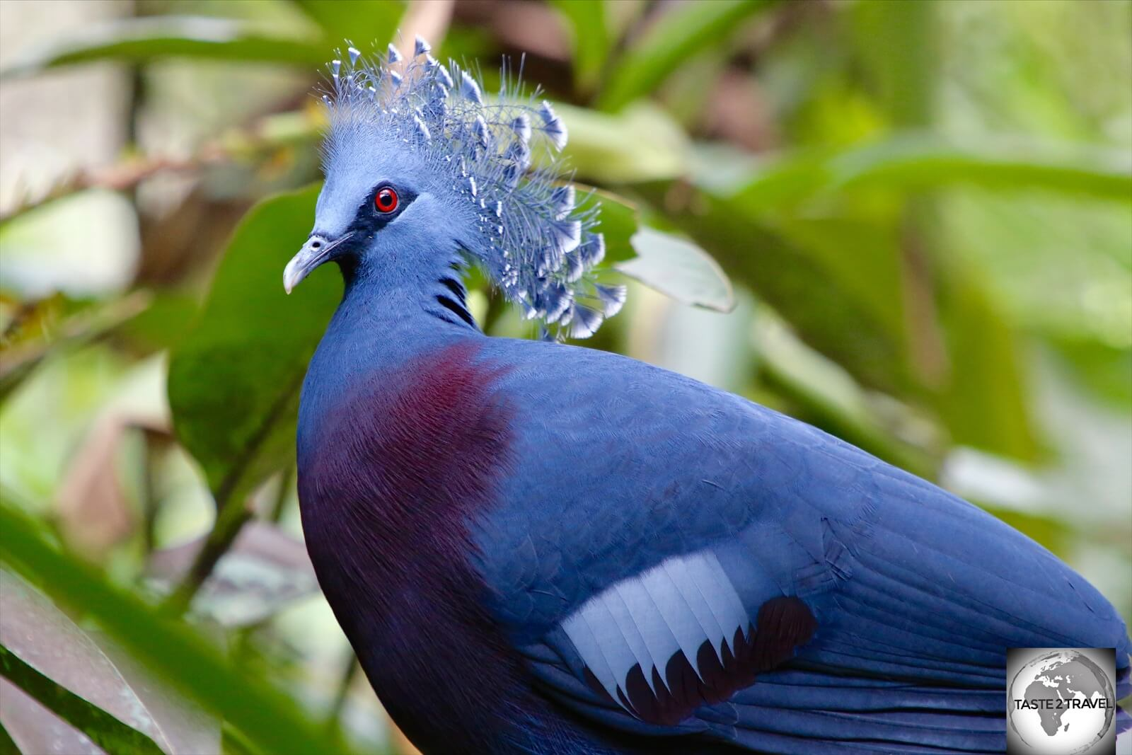 About the size of a hen, the Victoria-crown pigeon is the largest pigeon in the world.