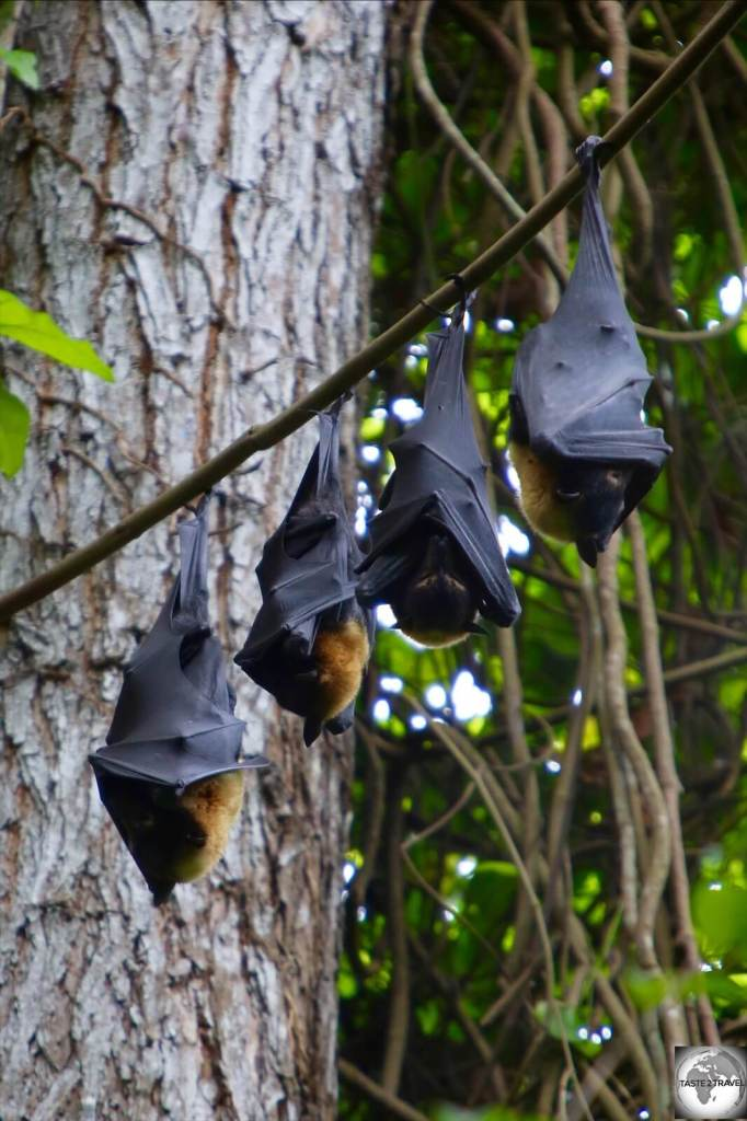 Spectacled Fruit Bats fill the trees of the rainforest in the POM Nature Park.