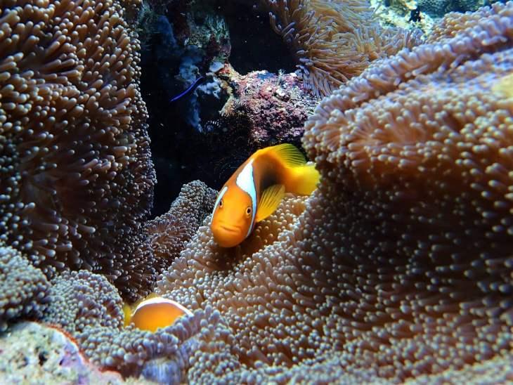 Such a curious cutie! The White BonnetClown-fish on Langsam reef.
