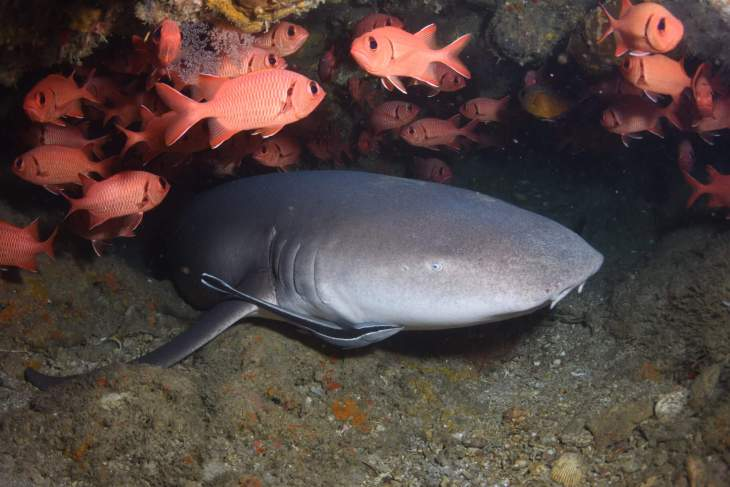 One of the residents of Langsam reef is a Nurse shark which sleeps by day in a small cave.