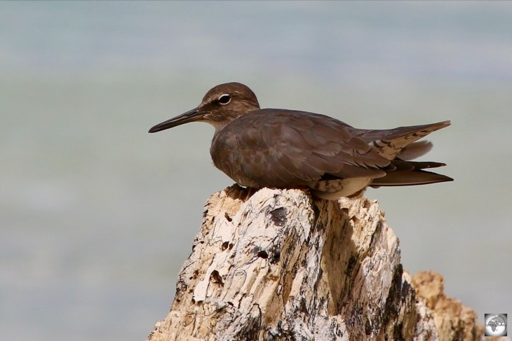 The only wildlife to be found on remote Nauru are the occasional migrating seabird such as Brown Noddy's, which are a common sight on the beaches.