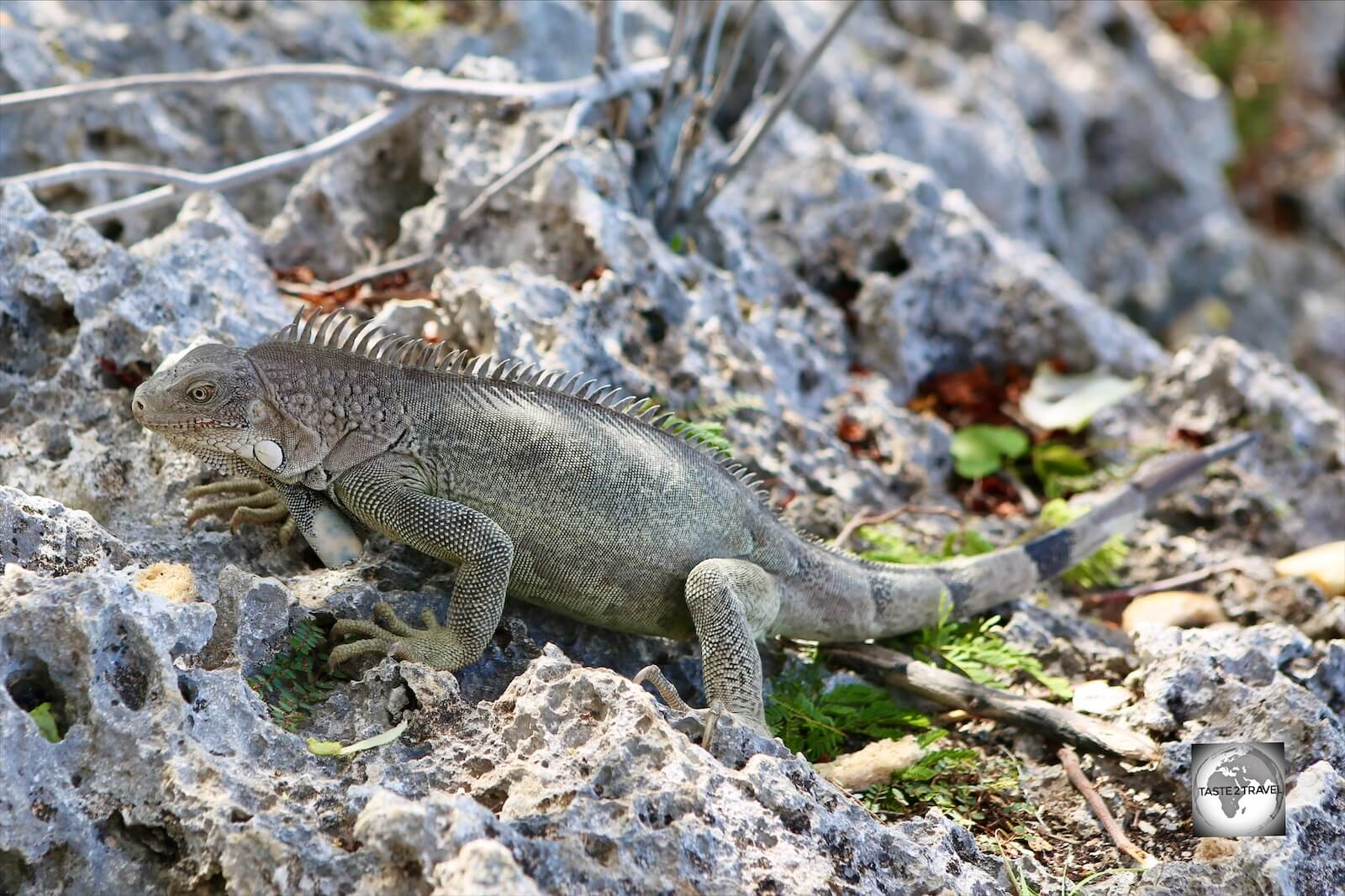 Introduced to the island, the Green Iguana is a common sight on Bonaire and is featured in local cuisine.