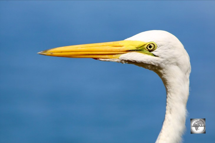 A majestic Great White Heron at the Marasha Nature Reserve in Peru.