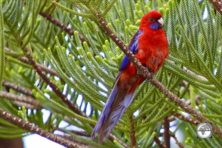 A Crimson rosella, known locally as a Red parrot, sitting in a Norfolk Island pine.
