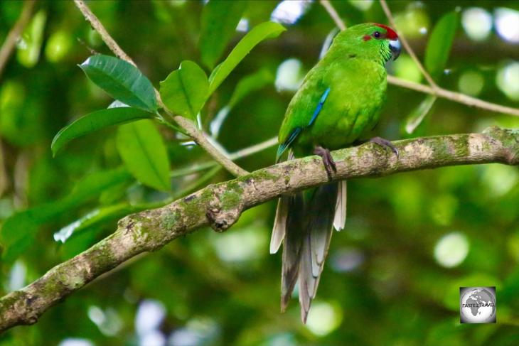 The Norfolk Island green parrot can be found in the Botanical garden and the National park.