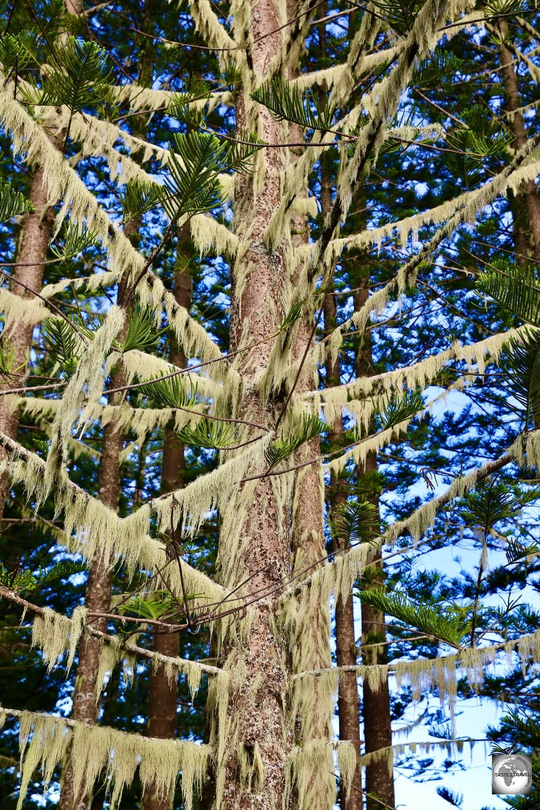 A Norfolk Island pine festooned with lichen Usnea.
