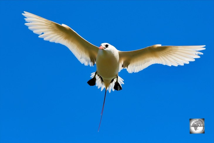 This curious Red-tailed tropicbird kept me as I stood and photographed it on the sea cliffs at the 100 Acres reserve.